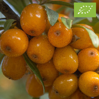 씨벅턴 펄프 CO2추출오일(SEABUCKTHORN PULP CO2 EXTRACT)